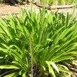 Agapanthus praecox subsp. Praecox