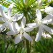 Agapanthus praecox subsp. praecox (white)