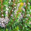 Agathosma ovata flower