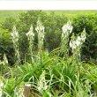Albuca nelsonii flower mass