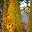 Aloe africana flowers