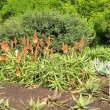 Aloe arborescens blooms