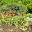 Aloe arborescens blooms