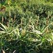 Aloe arborescens buds