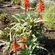 Aloe arborescens hybrid