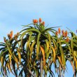 Aloe barberae blooms