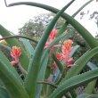 Aloe barberae young