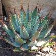 Aloe brevifolia