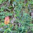 Aloe ciliarus
