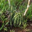 Aloe humilis habitat
