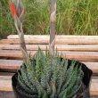 Aloe humilis bud