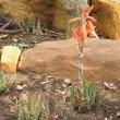Aloe humilis form gdn (2)