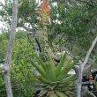 Aloe lineata