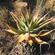 Aloe lineata form