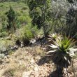 Aloe lineata habitat