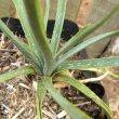Aloe myriacantha leaf