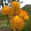 Aloe thraskii