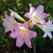 Amaryllis belladonna flower head