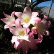 Amaryllis belladonna full bloom