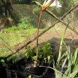 Amaryllis belladonna stem