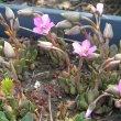 Anacampseros rufescens seedlings