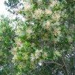 Apodytes dimidiata flowers