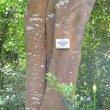 Apodytes dimidiata bark