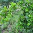 Apodytes dimidiata foliage
