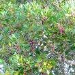 Apodytes dimidiata fruit