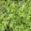 Aptenia cordifolia vgtd
