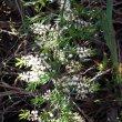 Asparagus densiflorus - Sprengeri
