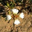 Blepharis capensis flower