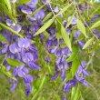 Bolusanthus speciosus flower cl