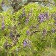 Bolusanthus speciosus foliage