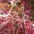 Boophone disticha flowers
