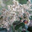 Brachylaena discolor flower close