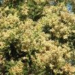 Brachylaena discolor flower mass.