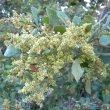 Brachylaena discolor flowers