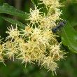 Brachylaena elliptica flowers
