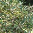 Brachylaena elliptica leaf