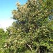 Brachylaena elliptica wild