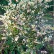 Buddleja auriculata flowers
