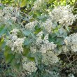 Buddleja salviifolia buds