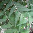 Buddleja salviifolia leaves