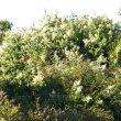 Buddleja salviifolia wild