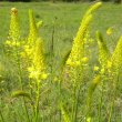 Bulbine abysinnicas flowers