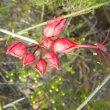 Cadaba aphylla flower