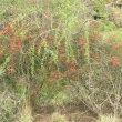 Cadaba aphylla flower mass