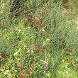Cadaba aphylla flowers