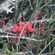 Cadaba aphylla Kwandwe Pvt Game Rsrve